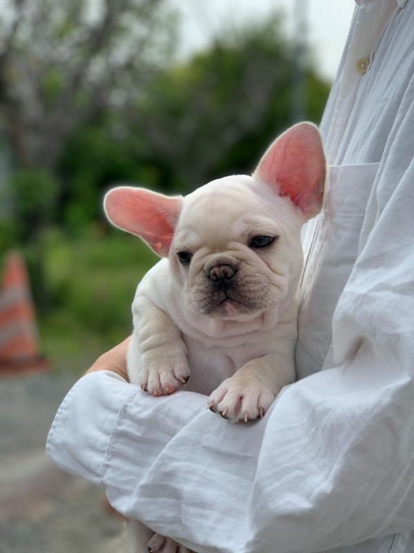 子犬 フレブル